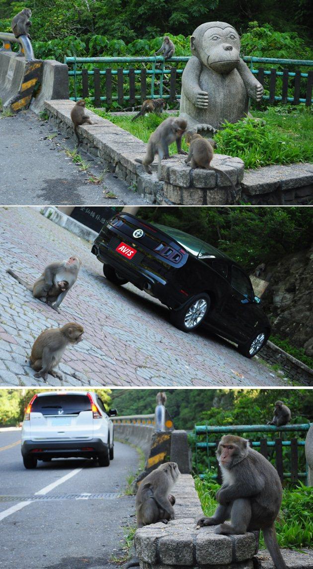 登仙橋旁的野生獼猴。 蔡志宇