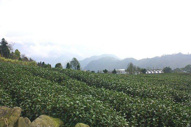 走二延平步道至約中段可看到大片茶園。 記者林和謙