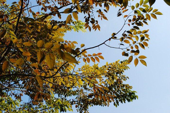 金廣成文化館園區內的變葉木已染上秋意。 記者趙惠群/攝影