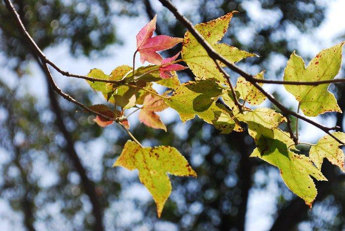 金廣成園內的楓香雖不是楓,也隨著天涼變紅。 記者趙惠群/攝影