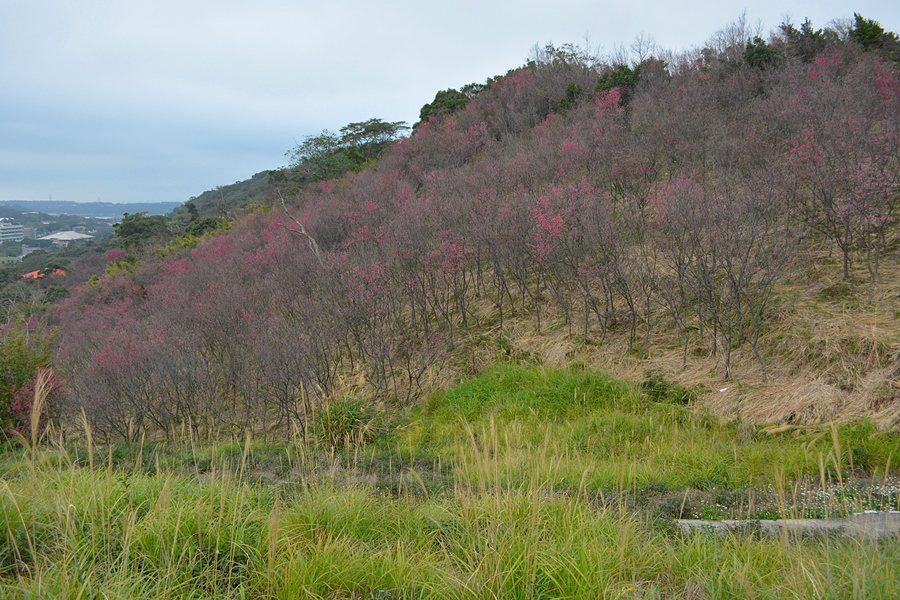 楊梅大平山數百株山櫻盛開,開了芒花的山坡點綴著緋紅,十分迷人。 記者趙惠群/攝影
