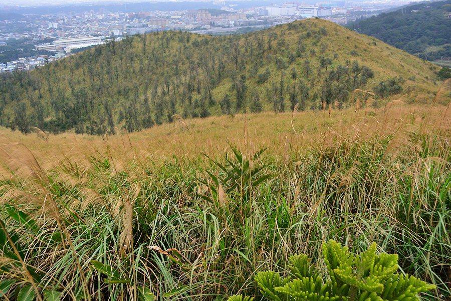 大平山,一座海拔不過百公尺的小丘陵,是楊梅的觀光茶園,但這裡也是賞秋芒的祕境。