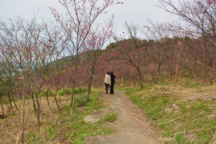 而大平山的山櫻花,既可遠觀也可褺玩,下坡的路邊有一條農路,穿梭在櫻花林內,是超浪...