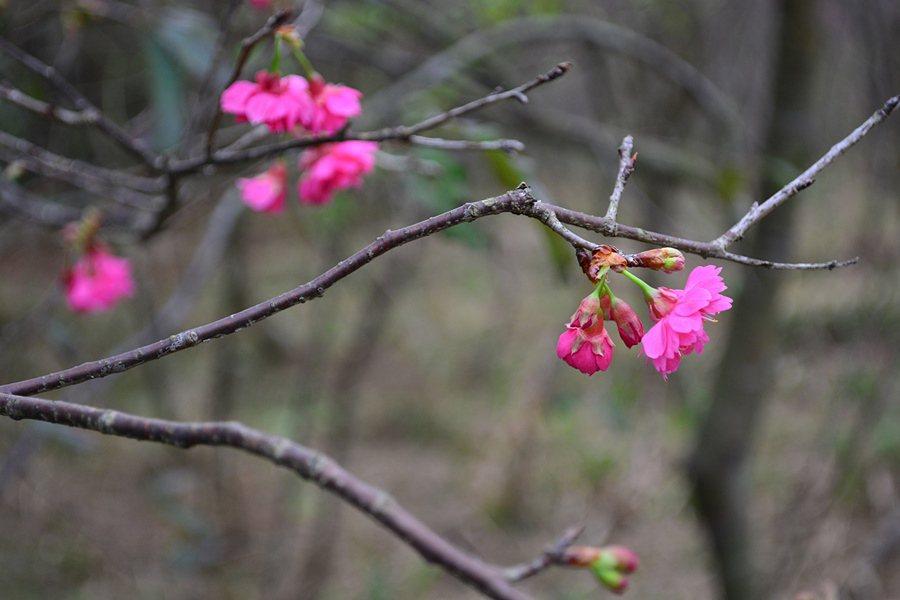 大平山山櫻花的千姿百態。 記者趙惠群/攝影