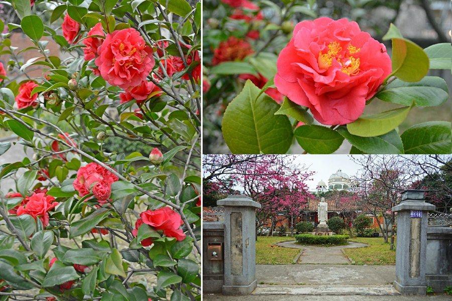 回善寺的庭院裡還有一株優雅的茶花,花色與姿態都有著濃濃的人文氣息,吸引著我們的目...