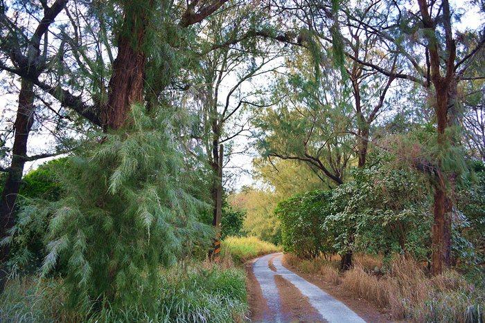 好美寮有號稱全台最美的防風林,高聳的木麻黃,交錯著水黃皮和黃槿等樹種。 記者趙惠群/攝影