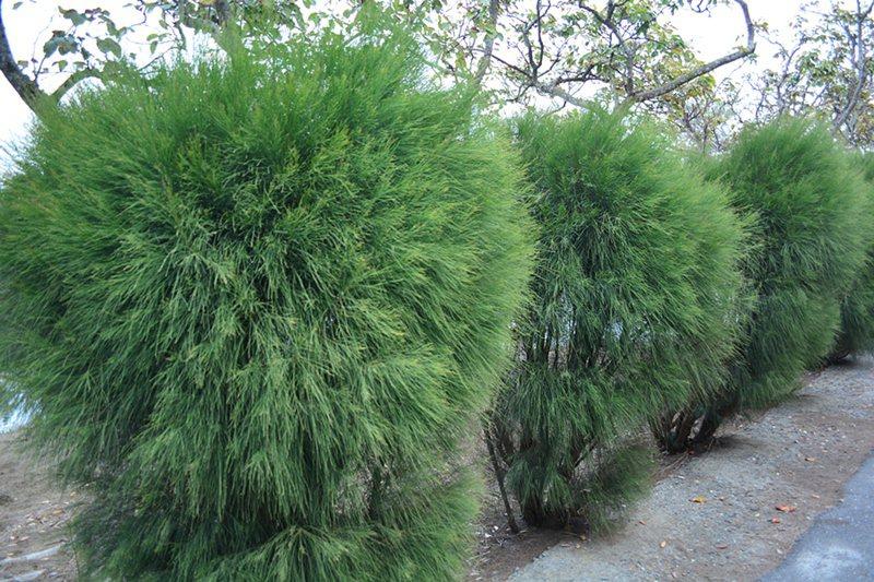 「新塭苗圃」,屬林務局,主要功能是防風林造成,裡頭主要培育木麻黃等七種樹木。 記者趙惠群/攝影