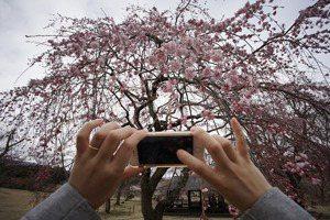 【日本看看】從「爆買」到爬櫻花樹的文化衝擊