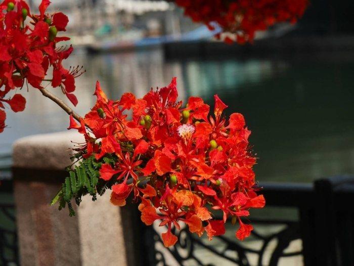 細看鳳凰花。(照片由蔡順和提供)