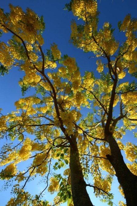 黃金雨從藍天落下。(照片由蔡順和提供)