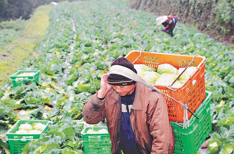 阿里山上的鄒族農人莊鎔蔚,種植有機高麗菜,靠「光原社會企業」在都市打開銷路。報系...