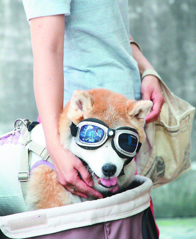 有人幫愛犬載上太陽眼鏡遮陽,主人說效果與人帶墨鏡一樣。圖/記者黃義書攝影