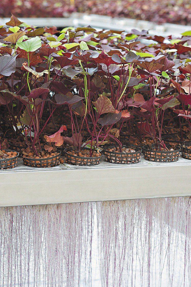 香奈兒使用獨特的懸空栽種法,培育與萃取月光藤,提升成分濃度。圖/香奈兒提供
