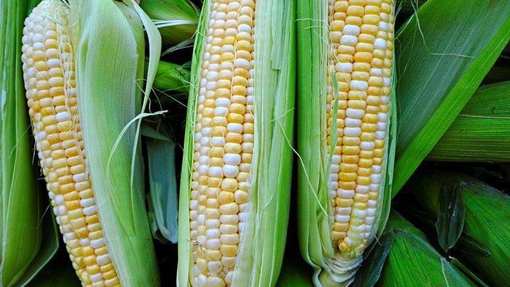 玉米。 圖/ingimage