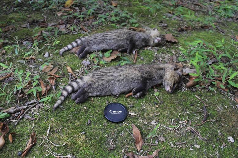 在陽明山國家公園中被流浪狗咬死的保育類動物——麝香貓。 (圖/陽明山國家公園提供...