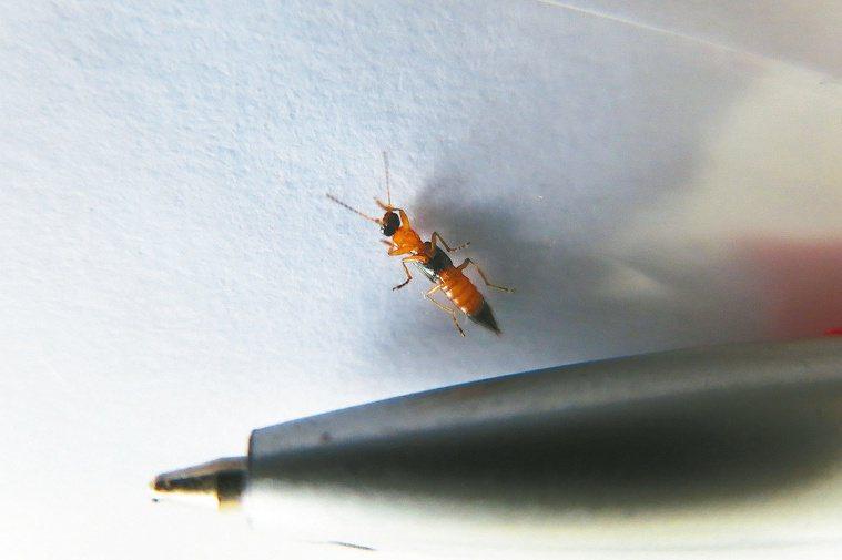 隱翅蟲非常細小,還可以鑽過紗窗。 報系資料照 記者邱立雅/攝影
