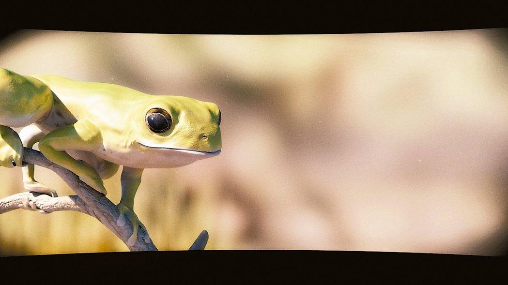 圖是蕭勝文畫作的「莫氏樹蛙」本尊正在觀望。 蕭勝文/提供