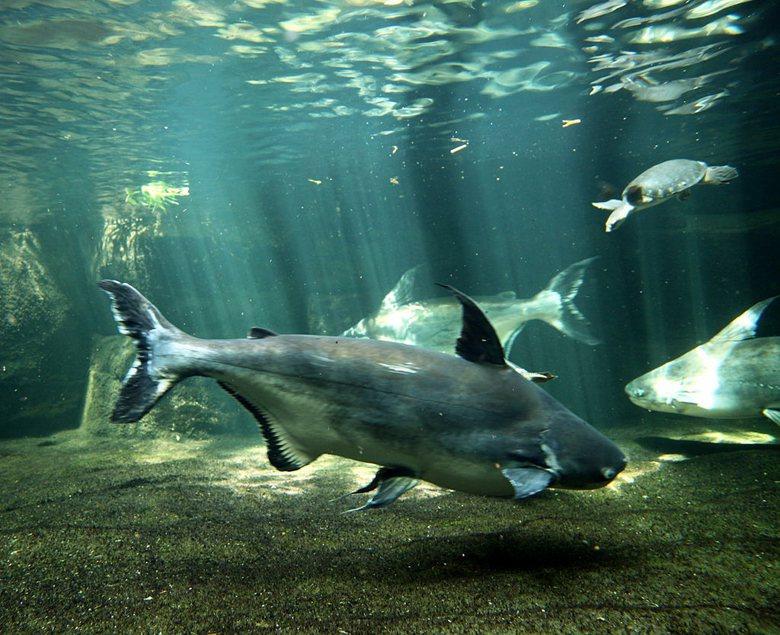 從紫竹寺那隻「鯰魚精」聊聊那些大家不熟,經常被棄養也沒單位想管的大型動物