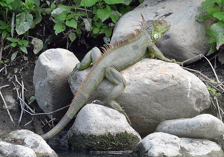 綠鬣蜥已經成為南部縣市頭痛的入侵動物。 圖/游崇瑋提供。