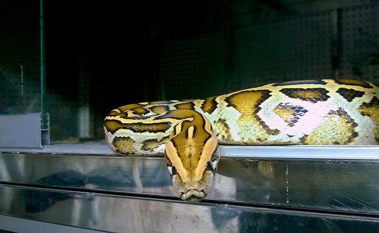 大型蛇類並非不能當寵物,但不少飼養者缺乏知識與技術門檻而造成逃脫。 圖/作者提供...