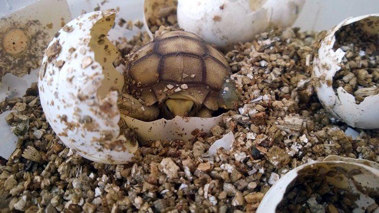 出生時如蛋黃酥的蘇卡達象龜,很快就能長到超過一般家庭所能負荷的尺吋。 圖/作者提...