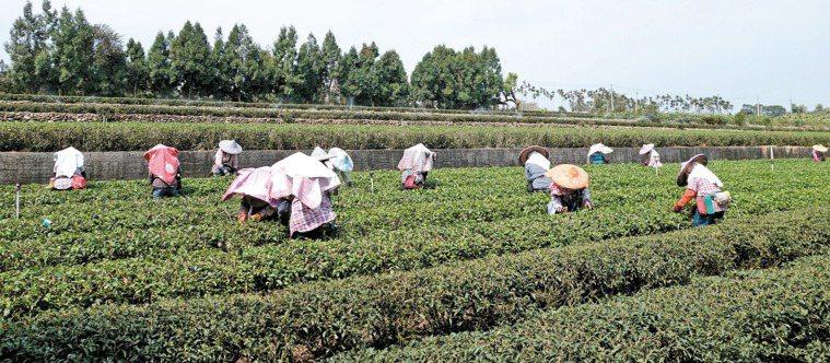 進口茶低價大量進入台灣, 威脅茶農生計,也使台灣好茶的形象受損。 記者賴香珊/攝...