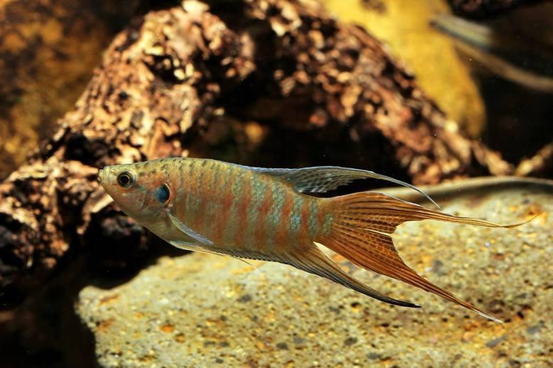 蓋斑鬥魚雖然可耐缺氧,但無法在狹小積水中生存。 圖/周銘泰 攝