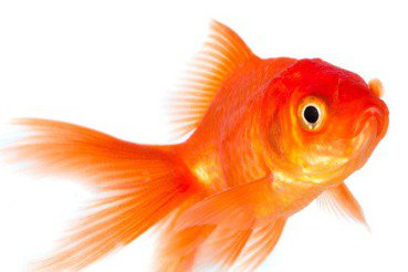亂放魚無助於滅蚊,反而破壞生態環境