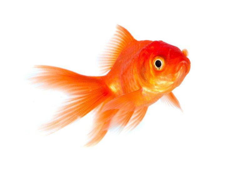 以金魚的游泳速度是根本抓不到只在陰暗的淺水或落葉堆出現的孑孓。 圖/ingima...
