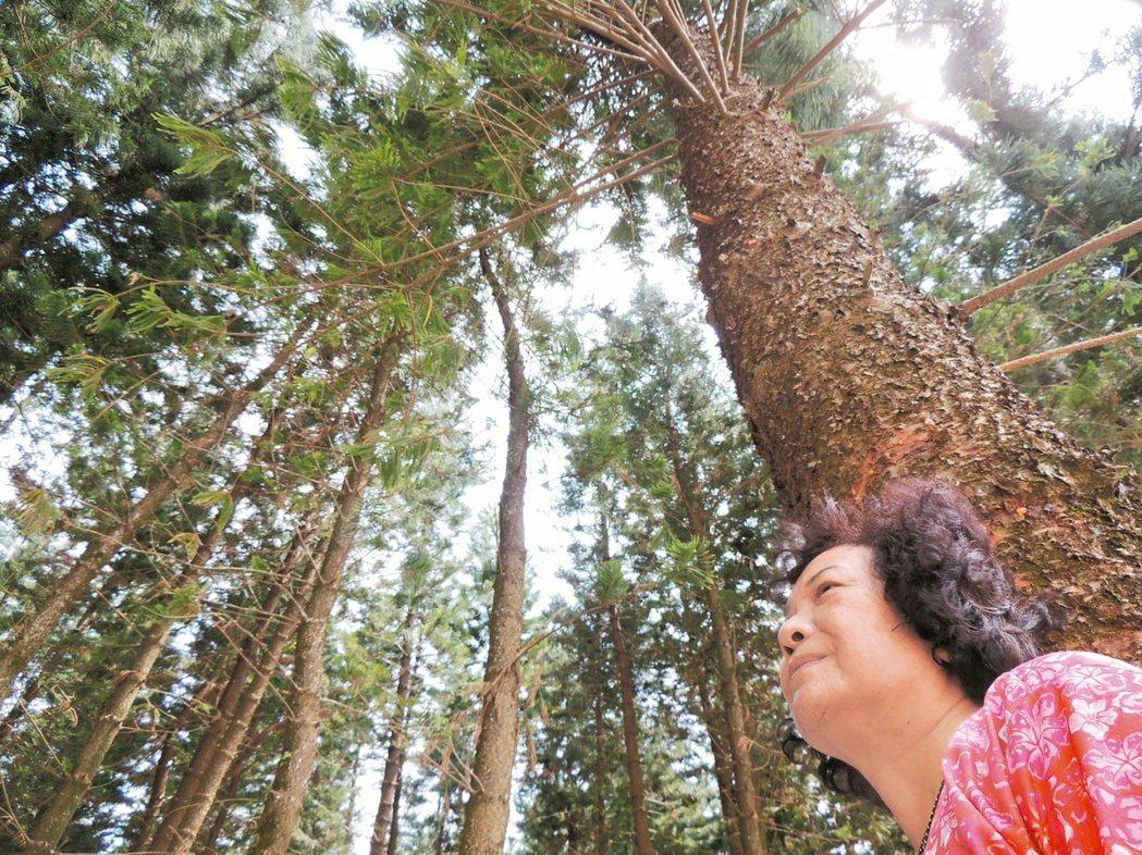 2.5公頃南洋杉林開放供遊客露營,分享林下涼風徐徐的景致。 記者紀文禮/攝影
