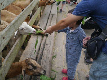 羊咩咩餵食時間到囉∼你可選擇投幣取牧草或購買專屬的飼料來餵食。 圖/出版社提供