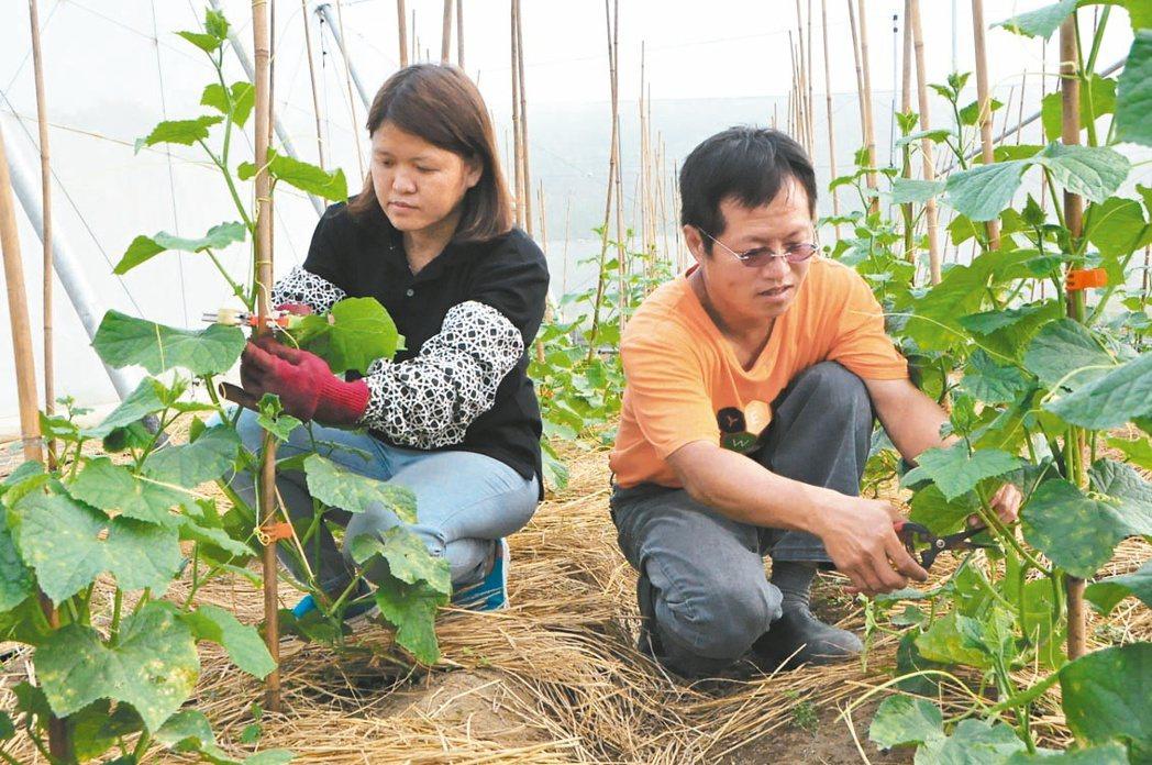 在媒體圈工作多年的陳柏菁(右)三年前與太太于永慧返鄉種植有機蔬果。 記者綦守鈺/...