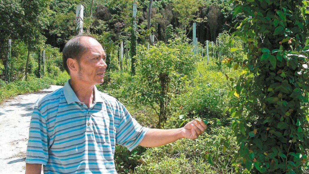 范振海去年初栽種的千株愛玉,預計明年底開始收成。 記者邱立雅/攝影