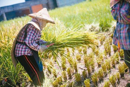 族人一同參與復育水稻的過程。 圖/舒米.如妮提供