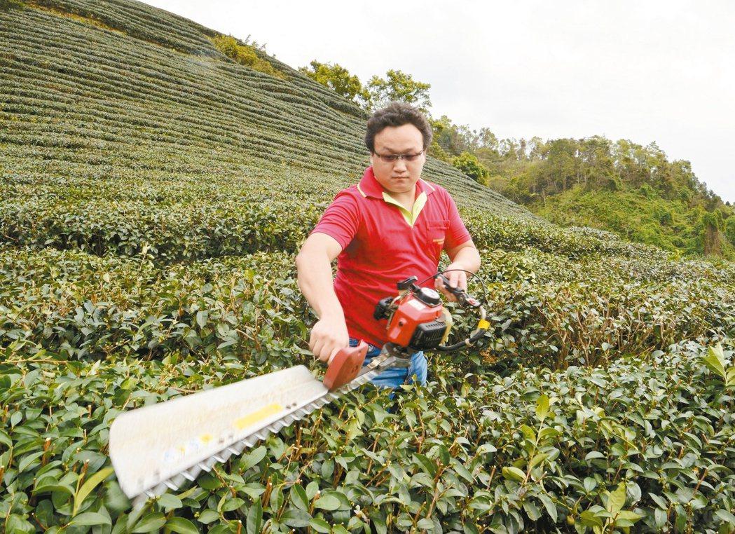 坪林茶農蘇冠軒是文山包種茶比賽最年輕冠軍,「茶青團」分享經驗是關鍵。 記者王長鼎...