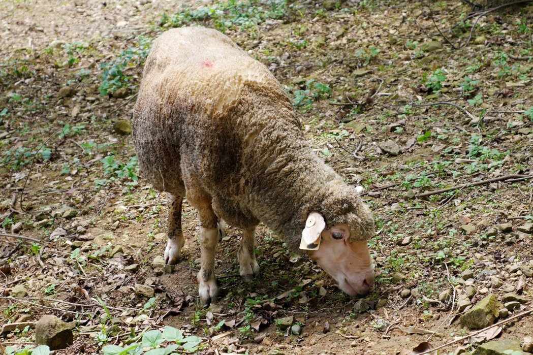 綠光森林園區內的綿羊,遊客可使用飼料餵食。 記者陳威任/攝影