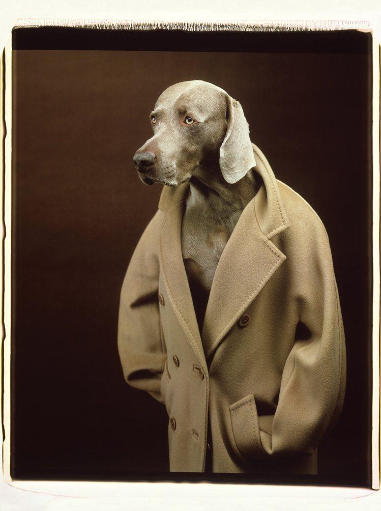 模特兒「威瑪犬」詮釋MAX MARA經典101801駝色大衣。圖/MAX MAR...