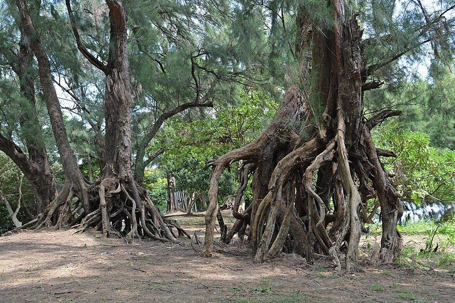 水池畔奇特的老樹走路奇觀。