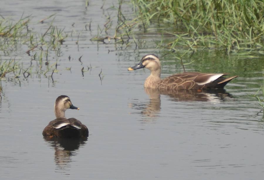 中港溪濕地雁鴨池內的黃嘴鴨。