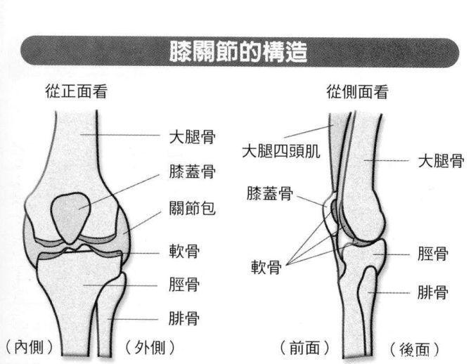 膝關節的構造 圖/陳嘉允主任提供 繪圖/吳懿雯