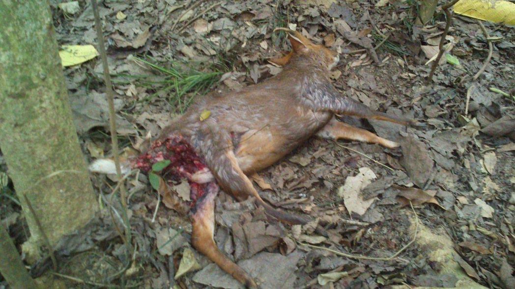被浪犬攻擊而肚破腸流的死亡山羌。 圖/壽山國家自然公園籌備處提供。