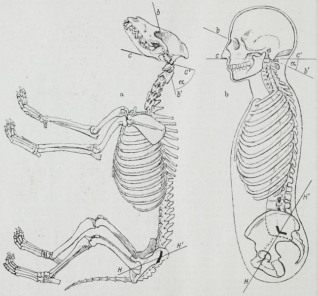人與狗的骨骼結構比較。出自Hermann Braus於1921年所著的Anato...