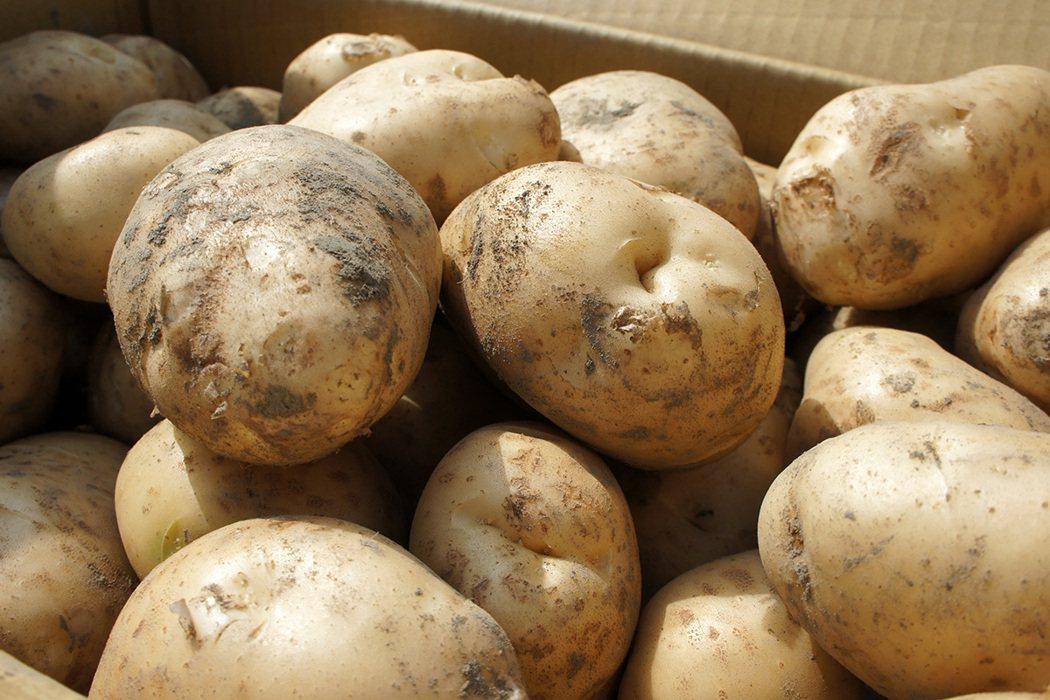 馬鈴薯發芽還能吃嗎? 報系資料照 記者李京昇/攝影