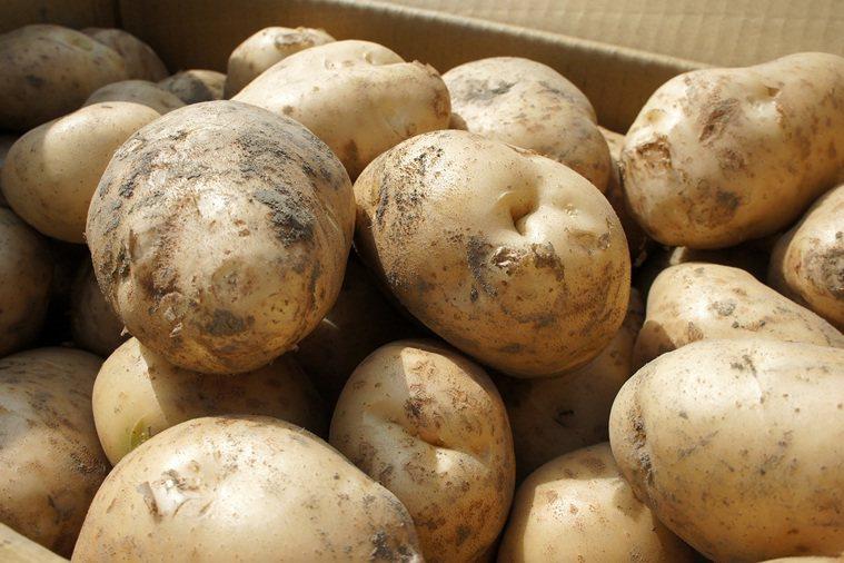 馬鈴薯。 報系資料照 記者李京昇/攝影