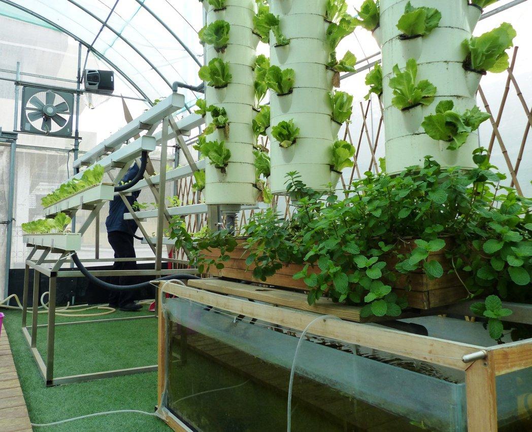 彰化縣愛加倍的魚菜共生園,有柱狀種植的菜圃,下方是魚缸,再以馬達抽水灌溉蔬菜。 ...