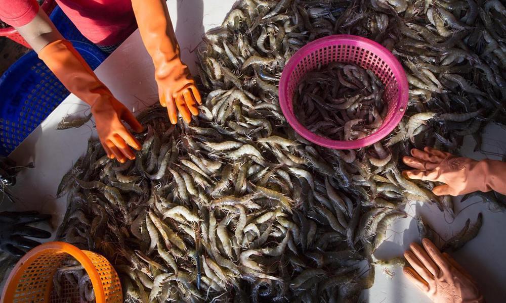 蝦產品市場僅是泰國「水產奴工」的一環。圖/美聯社