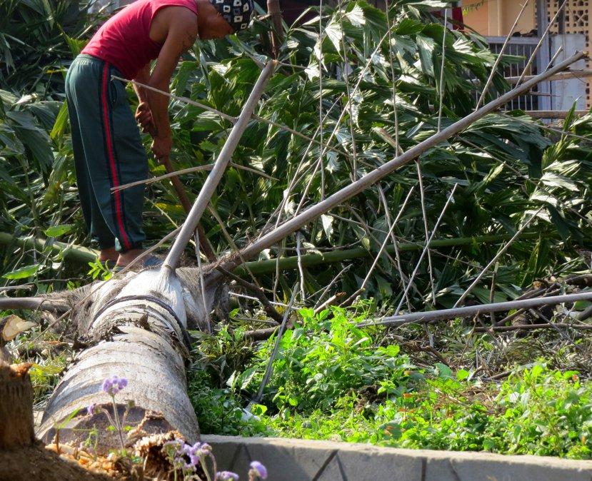 博克拉(Pokhara)老城區居民砍斷公園的樹當木材燃料。 圖/作者謝承佑提供