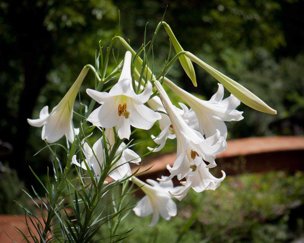 圖片來源/ piedmont gardener