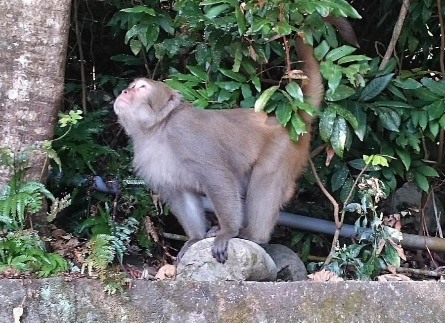 四號步道的獼猴生態。
