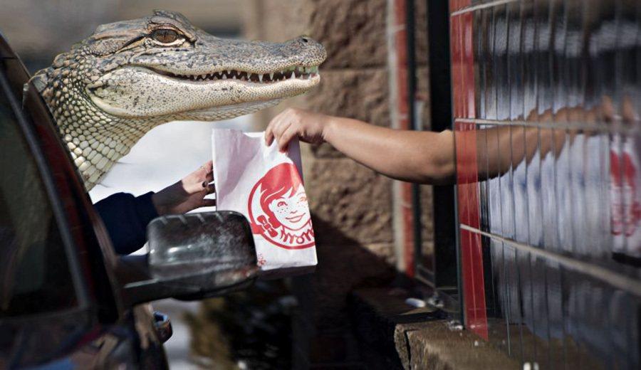 美國佛羅里達州警方逮到去年10月間,將一隻約106公分長的活鱷魚了丟進 Wendy's溫蒂漢堡得來速窗口的男子 摘自publicdomainpictures.net